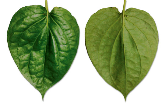 Betel Leaf - front and back